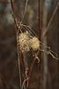 Spines (Dave Linscheid) Tags: plant weed fall autumn winter texture textured topaztextureeffects2 butterfield watonwancounty mn minnesota usa