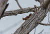 Ecureuil roux (Philippe Renauld) Tags: ecureuil roux arbre calmont occitanie france fr squirrel