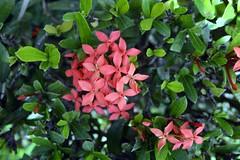 WOL Calauan Laguna Philippines Day 1 (127) (Beadmanhere) Tags: philippines flowers