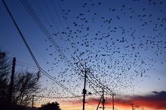 20180207_012_2 (まさちゃん) Tags: 鳥 群れ 電柱 電線 silhouette シルエット