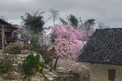 _MG_7729.0312.Lũng Táo.Đồng Văn.Hà Giang (hoanglongphoto) Tags: asia asian vietnam northvietnam northeastvietnam landscape scenery vietnamlandscape vietnamscenery vietnamscene hagianglandscape spring village house home tree flower peachblossom sky canon canoneos5dmarkii đôngbắc hàgiang đồngvăn lũngtáo phongcảnh phongcảnhhàgiang mùaxuân mùaxuânhàgiang bảnlàng ngôinhà hoađào bầutrời hoađàohàgiang canonef2470mmf28lusm