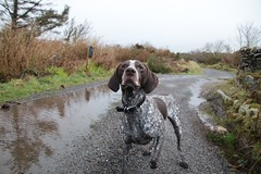 Patiently waiting... (Madrose27) Tags: westcork pinecone collar nose cute animals nature trees winter puddle water patient cloudy day outdoors bokeh dog