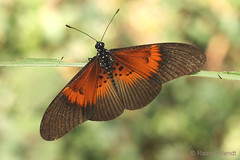 IMG_6128 Acraea alcinoe alcinoe (Raiwen) Tags: butterflies lepidoptera nymphalidae heliconiinae acraeini acraea acraeaalcinoe bematistesalcinoe africa westafrica guinea guinéeforestière
