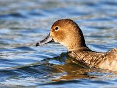 Redhead (pamfromcalgary) Tags: birds bird waterfowl redhead nature bridlewoodwetlands pamhawkes