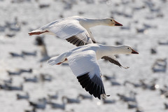 Snow Geese at Middle Creek Wildlife Management Area-6 (Scott Alan McClurg) Tags: anatidae anseriformes anserinae anserini aves ccaerulescens chen federal federalwildlifenaturepreserve flickr flap flapping flight flock flying geese goose landing life middlecreek migrate migration nature naturephotogtaphy photography pond preserve resevoir snow snowgeese snowgoose water white wild wildlife