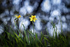 Narcisse en balade (Samuel Pettina) Tags: narcisse triotar carlzeiss 135mm m42