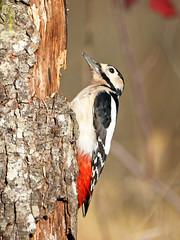 Pico picapinos (Dendrocopos major) (1) (eb3alfmiguel) Tags: aves pájaros carpintero piciformes picidae pico picapinos dendrocopos major pájaro árbol hierba animal bosque