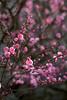 Ume (5) (_Count_Zero) Tags: ume umeblossoms flower