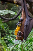 Is that a banana in your pocket or are you just happy to see me?.jpg (Darren Berg) Tags: singapore flying fox bat banana hanging leathery