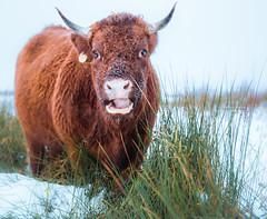 What????????? (Ingeborg Ruyken) Tags: ochtend morning koe 2017 empel rodegeus 500pxs dawn cow sneeuw natuurfotografie dropbox december flickr snow