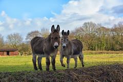 Donkeys Equus africanus asinus (Joan's Pics 2012) Tags: donkeys ass friends windybankwood farmland two curious farm domesticated nosey glazebury local