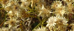 asteraceae flowering heads, old (Martin LaBar) Tags: southcarolina pickenscounty asteraceae flower flowers flores macro