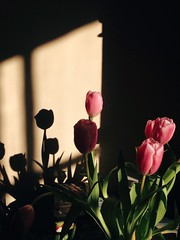 Tulips And Shadows (msganching) Tags: tulips shadows home flowers morning winter sunlight