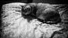 Sleeping on the bed (h329) Tags: 50mm f095 noctilux bed cat bw leica m9p