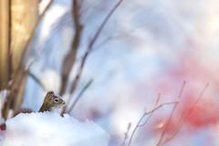 Sauna pour écureuil (Nicole Barge) Tags: écureuil squirrel neige snow bokeh dof pdc 2017 hiver winter froid cold spa baindeneige houxverticillé