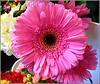In Full Bloom ... (** Janets Photos **) Tags: uk flora flowers plants gerbera closeups macro