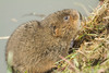 WATER VOLE (_jypictures) Tags: animalphotography animals animal canon7d canon canonphotography wildlife wildlifephotography watervole nature naturephotography photography pictures