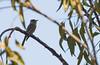 Record shot of Greater Pewee (Contopus pertinax) - San Diego, CA (bcbirdergirl) Tags: greaterpewee sandiego california sandiegocounty rarity rare balboapark contopuspertinax passerine tyrantflycatcher recordshot usa us