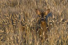 Capriolo (Polpi68) Tags: capriolo roe nature wild wildlife nikon