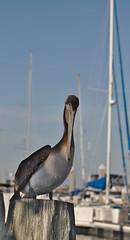 brown_pelican_juvenile