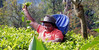 Tea picker (Meino NL) Tags: teapicker theeplukster ceylontea srilanka