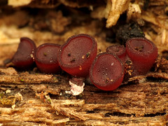 Red Cup Fungi