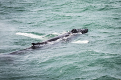18 Hump back whale (NSJW photos) Tags: whale humpbackwhale mammal blowholes fins dorsalfin nose white iceland winter nsjwphotos