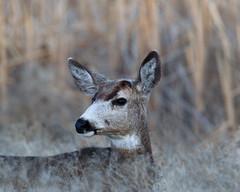 "Mule Deer (dennis_plank_nature_photography) Tags: tulelake blacktaileddeer muledeer ca california kbnwr klamath or oregon deer ""klamathbasinnationalwildliferefuges"""