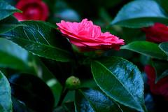 Halcyon (TheseusPhoto) Tags: color garden colors flower nature naturephotography beautyinnature beautiful flowering flowers