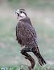 Laggar Falcon (Koshyk) Tags: laggar falcon chapar chhappar talchapar laggarfalcon churu rajasthan falcojugger