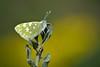 Pontia daplidice (jotneb) Tags: natureza pieridae animais insectos vidaselvagem arlivre lepidoptera primavera portugal escaroupim butterfly borboletas