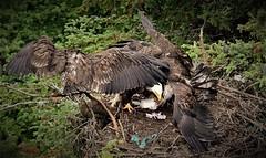 It is Only Lunch Time (Insearchoflight) Tags: eagles baldeagles americaneagles raptors hawks feedingfrenzy carefulma nestingeagles matureandyoungeagles cuckoldscove newfoundlandandlabrador stjohns