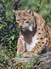 Lynx getting up (Tambako the Jaguar) Tags: lynx big wild cat european portrait vegetation tree log gettingup cute tierparkgoldau zoo switzerland nikon d5