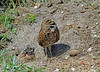 Burrowing owl,  alert for any threats to its young. ((nature_photonutt) Sue) Tags: burrowingowl adultandchick floridausa