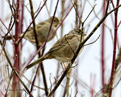 030418 Peek A Boo Sparrows (wildcatlou) Tags: march latewinter earlyspring wildlife nature birds nisquallynationalwildliferefuge sparrows goldcrownedsparrow songbirds