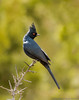 Phainopepla (N2NATURE PHOTOGRAPHY) Tags: phainopepla chihuahua desert research institute ft davis texas black perched