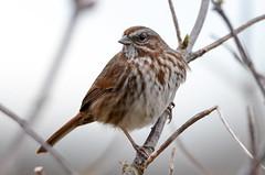 House Sparrow (glenbodie) Tags: bodie glen glenbodie reifel