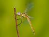 aferrada sobre verde (Santi BF) Tags: sympetrumfonscolombii sympetrum libélula libèl·lula dragonfly odonato odonata anisóptero aproximación bicho bug