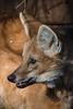 Mähnenwolf (Petra Güldner) Tags: mähnenwolf zoowildpark zooosnabrück