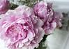 Peony (✿ *•.。.☆•CAH•☆.。.• * ✿) Tags: peonyrose flowers flower pinkflower pinkflowers pink romantic macro bloom fullbloom