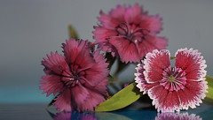 Little flowers ... 015/365 (judith511) Tags: flowers pink burgundy dianthus 2018onephotoeveryday