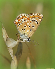 Farfalla (Darea62) Tags: butterfly insect animal wildlife nature commonblue polyommatusicarus icaro farfalla argo argoazzurro