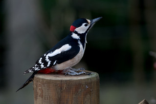 Great Spotted Woodpecker-132