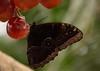 Juicy breakfast! (Raquel Borrrero) Tags: animallife butterfly grape uvas fruit fruta mariposa desayuno alimentos food nikon insecto insect plant planta volar fly eat comer color comida colour