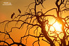 Yellow-billed Stork (Nicola Destefano) Tags: cicognabeccogiallo tantaloafricano mycteriaibis yellowbilledstork chobenp choberiver botswana africa safari animal wildlife bird sunset backlight silhouette nobody twoanimals