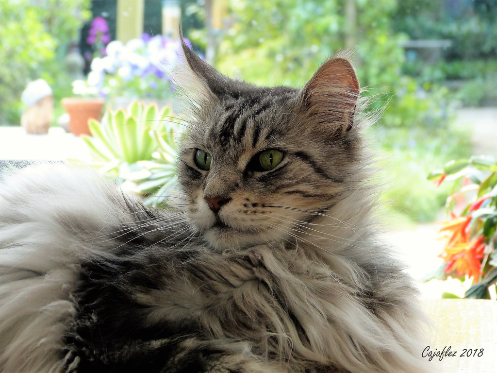The World's Best Photos of mainecoon - Flickr Hive Mind