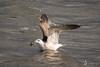 Gull with Starfish (Shane Dowling Photography) Tags: irishbirds irishwildlife birds seabirds gulls starfish lapwing grebe countyclare