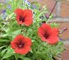 Red Petunias (MJ Harbey) Tags: garden flowers flower plant plants petunia redpetunias plantae solanaceae nikon d3300 nikond3300 hangingbasketflowers petunioideae