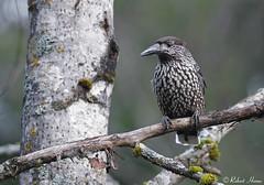 Eurasian Nutcracker (Robert Horne Wildlife Photography) Tags: nutcracker eurasiannutcracker spottednutcracker nucifragacaryocatactes västmanland sweden corvid corvidae passerine