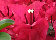 Bougainvillea Study! ('cosmicgirl1960' NEW CANON CAMERA) Tags: marbella spain espana andalusia costadelsol flowers worldflowers bougainvilleas parks gardens nature travel holidays yabbadabbadoo